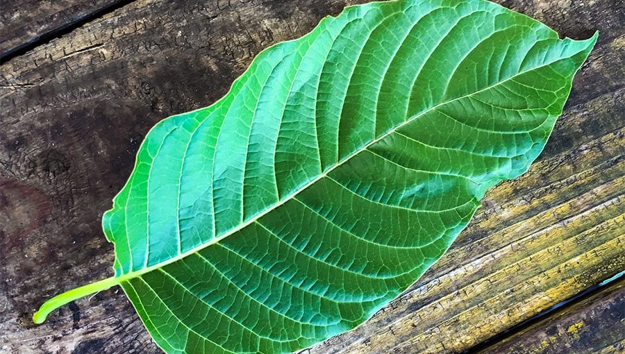 Ideal Kratom Vendors Aids You Attain Your Objectives